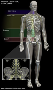 Anatomy Overview - Spine