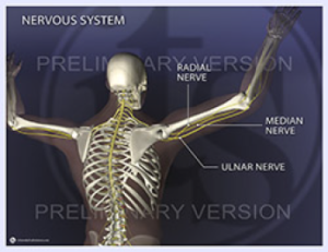 Nervous System - Radial, Median and Ulnar nerves illustrated, v1
