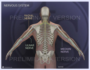 Nervous System - Radial, Median and Ulnar nerves illustrated, v2
